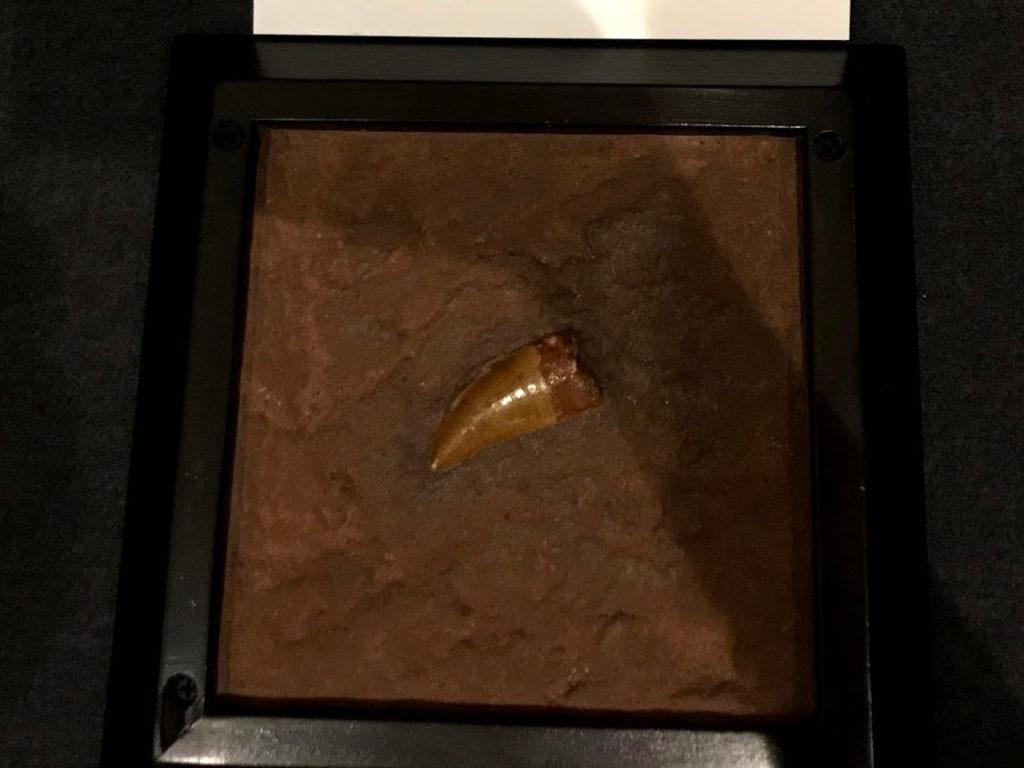 カルカロドントサウルスの歯の化石